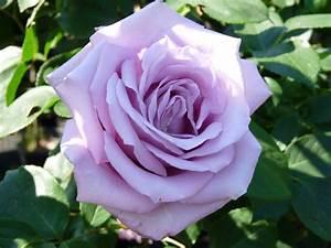Mainzer Fastnacht Rose : mainzer fastnacht stamroos 80 100 cm rosarium lottum ~ Orissabook.com Haus und Dekorationen
