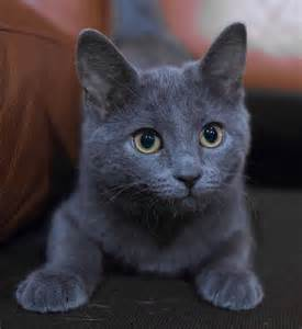 russian blue cat pictures 25 best ideas about russian blue kitten on