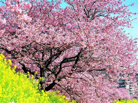 cherry blossom tree l drawings in ninepix trees cherry blossom tree