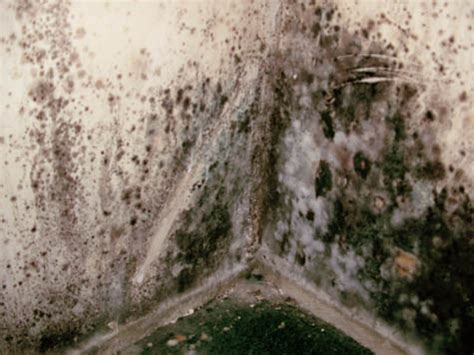 mildew smell remover types of mold mold remediation information