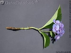 Hortensien Vermehren Wasserglas : hortensie vermehren stecklinge bewurzeln oder teilen ~ Lizthompson.info Haus und Dekorationen