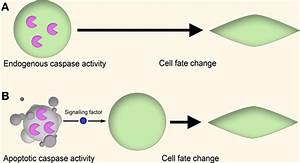 Frontiers   New roles for old enzymes: killer caspases as ...