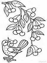 Coloring Pages Cherry Fruits Printable Colors Recommended Favorite Mycoloring sketch template