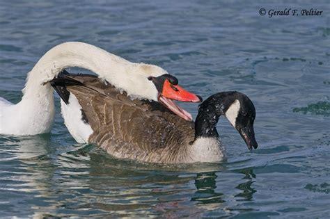 Tusindvis af nye billeder af høj kvalitet tilføjes hver dag. A New Spin on the Mute Swan Controversy - Waterfowl ...