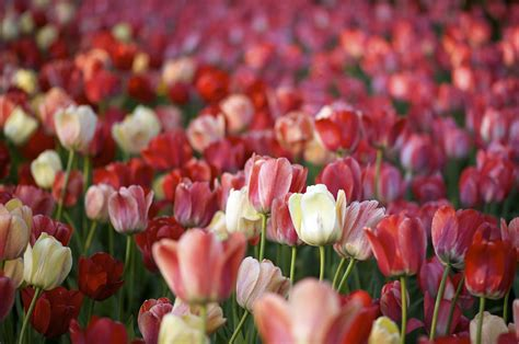tulips wallpapers images  pictures backgrounds