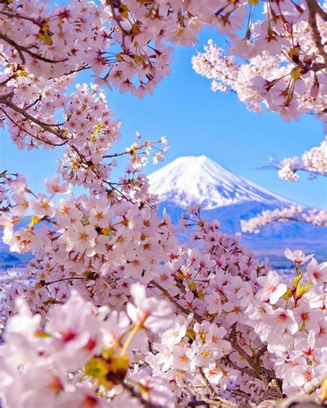 cherry blossom mtfuji sakura japan travel