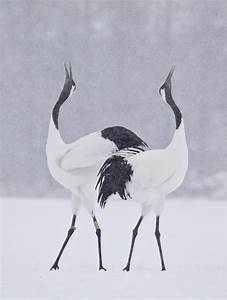 Snow Monkeys & Cranes of Japan: Spectacular Winter ...