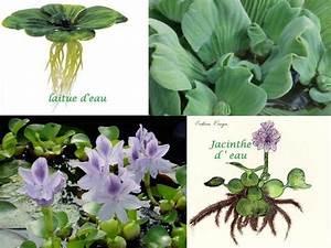 Plante Filtrante Pour Bassin : plantes flottantes de bassin ~ Louise-bijoux.com Idées de Décoration