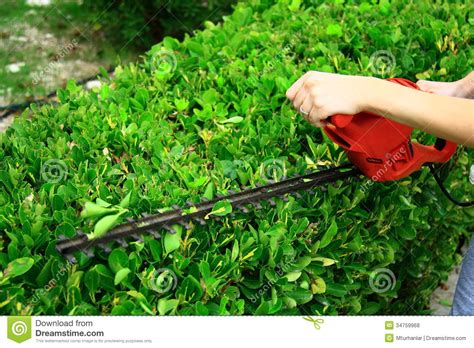how to trim a bush pruning tool on green shrub royalty free stock photos image 34759968