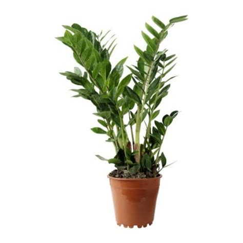bedroom ideas for zamioculcas potted plant ikea