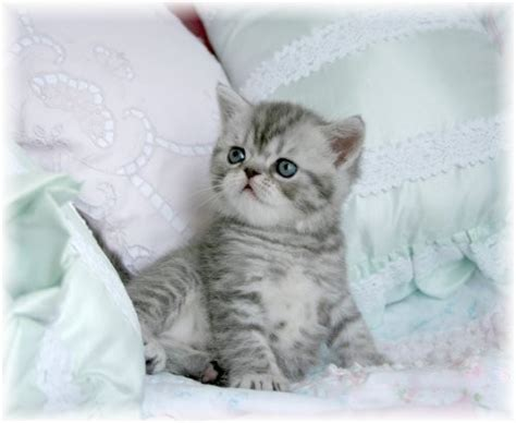 Exotic Shorthair Persian Kittens  Exotic Shorthair