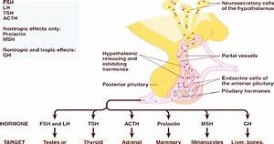 Hormones Secreted By The Pituitary Gland