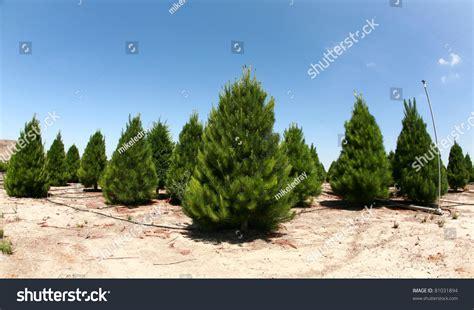 christmas tree farm southern california growing stock