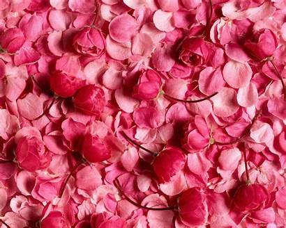 Petals Pink 3d Wallpapers Animated