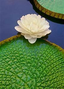 lily pad | ZENITUDE | Pinterest