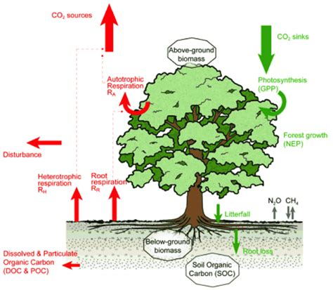 define carbon sink forest seeing the wood for the trees scientists find a better