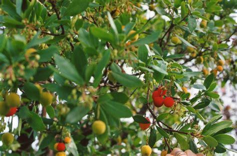 diari della lambretta strawberry tree