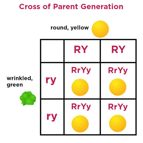 Punnett squares are one method for visually demonstrating the probability of offspring genotypes and offspring phenotypes. Dihybrid Crosses — Definition & Examples - Expii