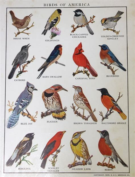 birds of america survey of bird species a 1935 book plate