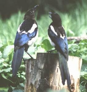 Elster Vogel Vertreiben : die vogelwelt in erlangen und umgebung ~ Lizthompson.info Haus und Dekorationen