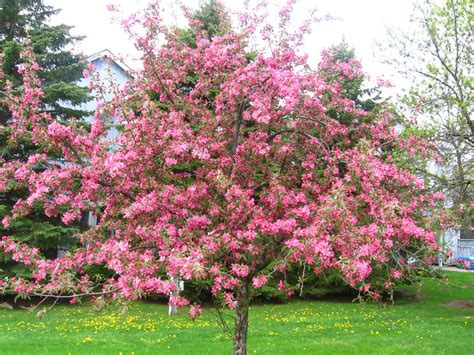 flowering trees pink blossoms pink flower tree 2 by halolux on deviantart