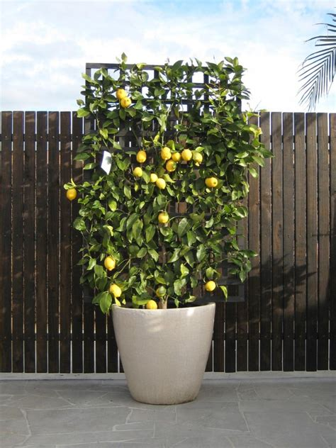 espalier fruit trees in containers espaliered fruit trees small space orchard garden
