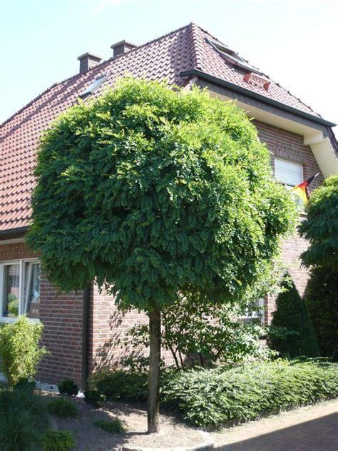 Im Garten Wuchs Der Baum by Robinia Pseudoacacia Umbraculifera Kugel Robinie
