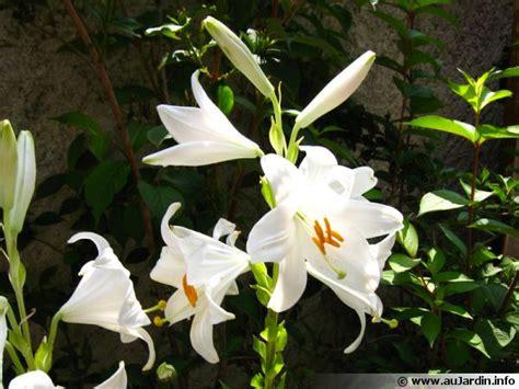 cuisiner maison lys de la madone lis blanc lilium candidum conseils de