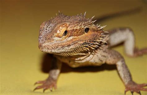 what kind of heat l for bearded dragon substrate for bearded dragons controversy bearded dragon