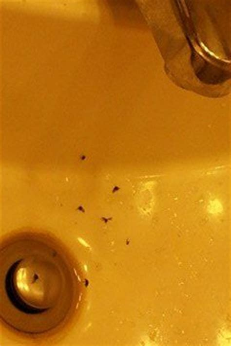 how do you get rid of sink drain flies hometalk