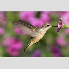Amazing Hummingbird Facts  Farmers' Almanac