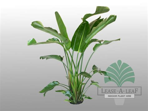 house plants with big leaves pictures of large leaf house plants