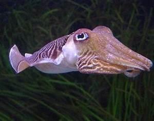 Cuttlefish (Sepiida) - Animals - A-Z Animals
