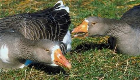 types  geese  orange beaks animals momme