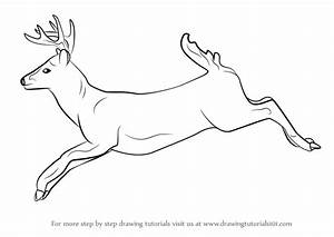Learn How to Draw a White-tailed Deer (Wild Animals) Step ...