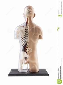 Figure Cross-section Diagram Of Human Body