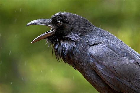 Common Raven  Natural Beauty Pinterest