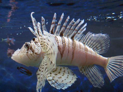 filelion fish rensai park aquarium tokyojpg wikimedia