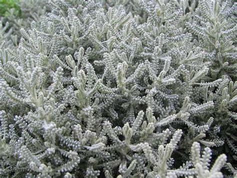 lavender cotton lavender cotton santolina chamaecyparissus