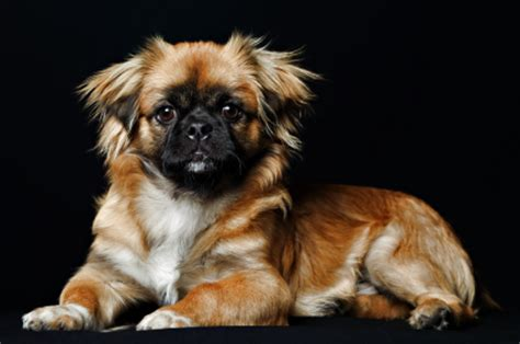 facts  pekingese