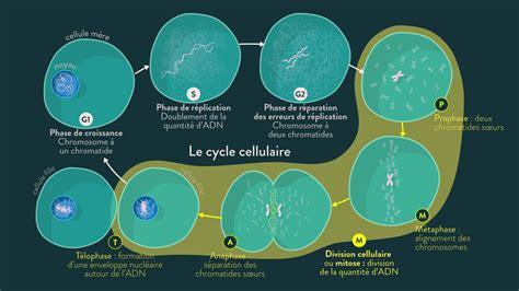 schema bilan le cycle cellulaire schoolmouv
