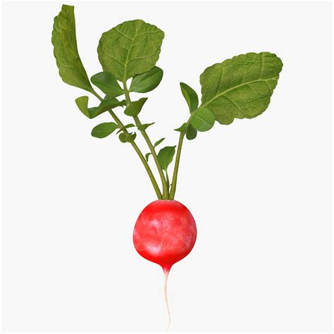 vertices software radish 2 3d model