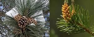 Biopgh, Blog, Conifer, Cones