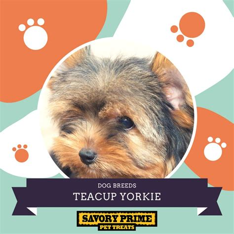 Teacup Yorkie – The World's Smallest Dog | Savory Prime ...