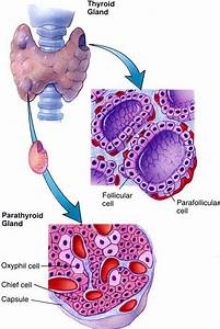 Thyroid Gland Pictures Anatomy