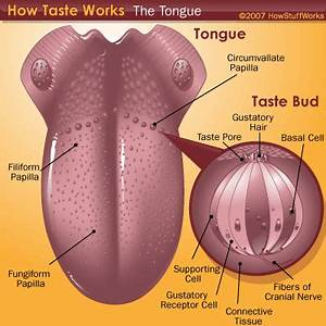 The Tongue and Taste | HowStuffWorks