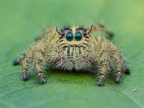 wallpaper spider macro photography  eyes