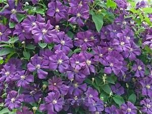 Blühende Pflanzen Winterhart : clematis eindrucksvoll bl hende kletterpflanze balkon ~ Michelbontemps.com Haus und Dekorationen