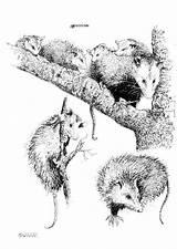 Opossum Coloring Comadreja Dibujo Beutelratte Malvorlage Colorear Colorare Disegno Kleurplaat Dibujos Ratte Printable Disegni Scarica Immagine Grande Gamba Schulbilder Educolor sketch template