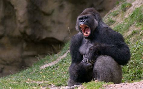 animal black gorilla images wallpaper  cool pc